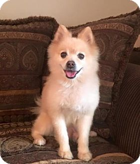 Pomeranian Dog for adoption in Boca Raton, Florida - WINSTON CHURCHILL
