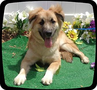 Collie/Shepherd (Unknown Type) Mix Dog for adoption in Marietta, Georgia - KY - reclaimed