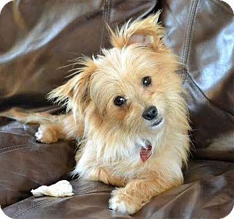 Maltese/Yorkie, Yorkshire Terrier Mix Dog for adoption in Westport, Connecticut - *Slushi - PENDING