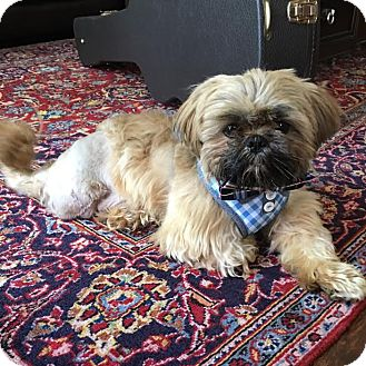 Shih Tzu Mix Dog for adoption in Los Angeles, California - OPIE
