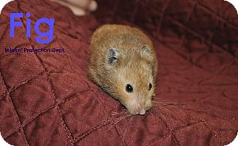 Hamster for adoption in Hamilton, Ontario - Fig