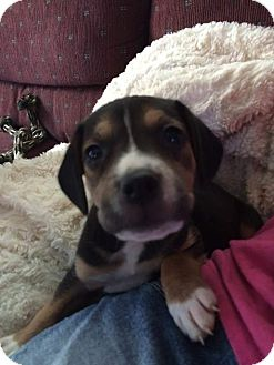 American Staffordshire Terrier/Beagle Mix Puppy for adoption in Kewanee, Illinois - Flower