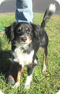 Border Collie Mix Puppy for adoption in Reeds Spring, Missouri - Sheena