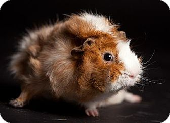 Guinea Pig for adoption in Kingston, Ontario - Bugsy and Bruce