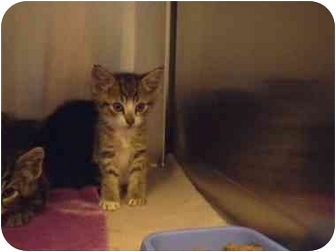 Domestic Shorthair Kitten for adoption in Saanichton, British Columbia - Smudge