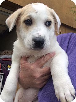 Labrador Retriever/Australian Cattle Dog Mix Puppy for adoption in Cave Creek, Arizona - Sammy
