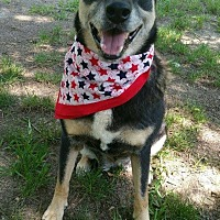 German Shepherd Dog/Husky Mix Dog for adoption in Claremont, New Hampshire - Violet - Needs Foster/Adopter!
