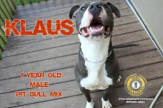 Pit Bull Terrier Mix Dog for adoption in Nicholasville, Kentucky - Klaus