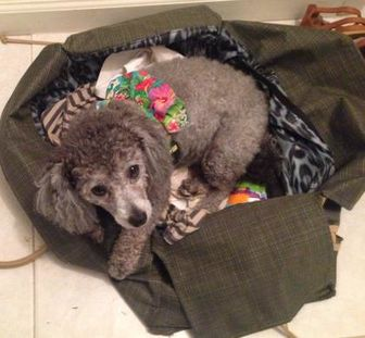 Poodle (Miniature) Mix Dog for adoption in St. Petersburg, Florida - Precious