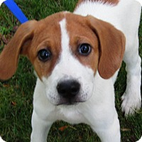 Adopt A Pet :: Jax - Harrisonburg, VA