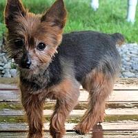 Adopt A Pet :: Nugget - Springfield, VA