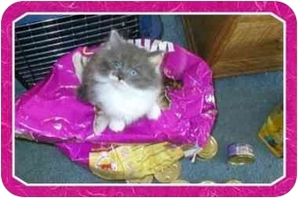Domestic Mediumhair Kitten for adoption in Sterling Heights, Michigan - Sweet Pea  ADOPTED!