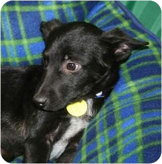 Australian Cattle Dog/Shepherd (Unknown Type) Mix Puppy for adoption in Westminster, Colorado - DILLON