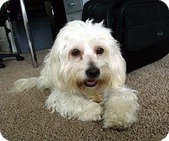 Lhasa Apso/Bichon Frise Mix Dog for adoption in Los Angeles, California - DAPHNE
