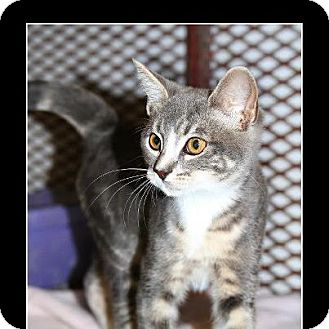 Domestic Shorthair Kitten for adoption in Comanche, Texas - Neena