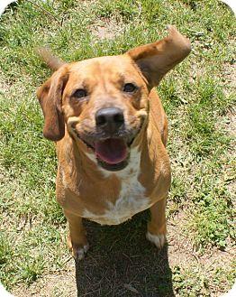 Beagle/Boxer Mix Dog for adoption in Yuba City, California - 03/30 Gabby
