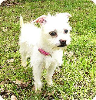 Maltese/Shih Tzu Mix Dog for adoption in Mocksville, North Carolina - Sugar