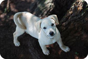 Labrador Retriever Mix Puppy for adoption in Greensboro, Georgia - Roxanna- Adopted!