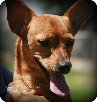 Chihuahua Mix Dog for adoption in Yuba City, California - 06/28 Roxie