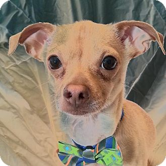 Chihuahua Mix Dog for adoption in Romeoville, Illinois - Speedy