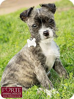 Terrier (Unknown Type, Small) Mix Puppy for adoption in Marina del Rey, California - Janet