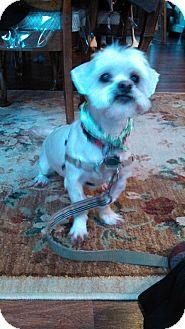 Shih Tzu/Maltese Mix Dog for adoption in Plainview, New York - Jackson