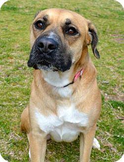 Boxer/Labrador Retriever Mix Dog for adoption in Jacksonville, Arkansas - Heidi