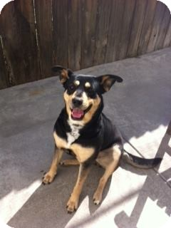 Shepherd (Unknown Type) Mix Dog for adoption in San Pedro, California - LUCY (Courtesy List)