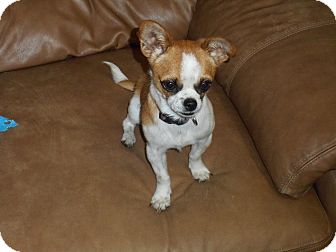 Chihuahua Mix Dog for adoption in Meridian, Idaho - Cloe