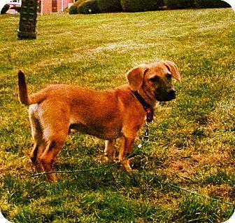 Basset Hound Mix Dog for adoption in Rockaway, New Jersey - Bang