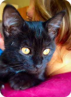 Domestic Shorthair Kitten for adoption in Green Bay, Wisconsin - Evening