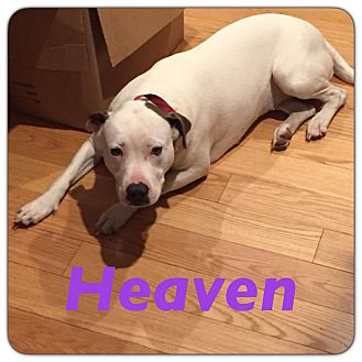 Pit Bull Terrier Mix Dog for adoption in Grand Ledge, Michigan - Heaven