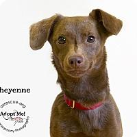 Adopt A Pet :: cheyenne - Phoenix, AZ