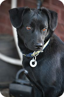Patterdale Terrier (Fell Terrier)/Labrador Retriever Mix Dog for adoption in Southington, Connecticut - Copper