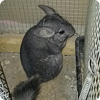 Adopt A Pet :: Dahlia - Granby, CT