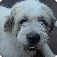 Adopt A Pet :: Snoopy - Bellflower, CA