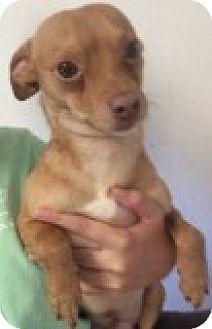 Chihuahua Mix Dog for adoption in Yelm, Washington - Stewie