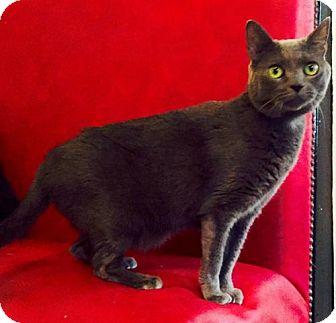 Russian Blue Cat for adoption in Buford, Georgia - Bella