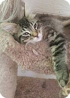 Domestic Mediumhair Kitten for adoption in North Highlands, California - Abraham