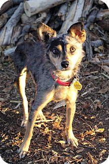 Australian Shepherd Mix Dog for adoption in Westminster, Colorado - JESSE