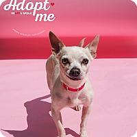 Adopt A Pet :: Amigo - Whitehall, PA