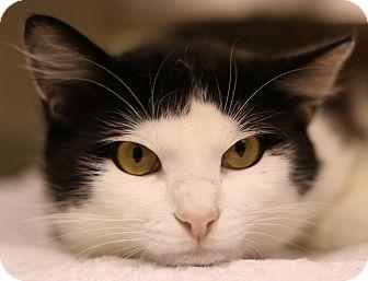 Turkish Van Cat for adoption in Cedartown, Georgia - 35195320