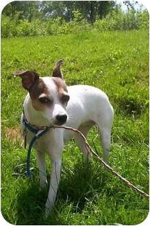 Rat Terrier Mix Dog for adoption in Honesdale, Pennsylvania - Tessie