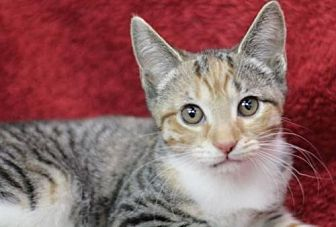 Domestic Shorthair Cat for adoption in Raleigh, North Carolina - Edie K