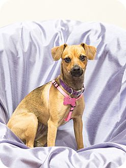 Miniature Pinscher Mix Dog for adoption in Chandler, Arizona - Thelma