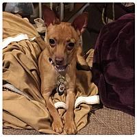 Adopt A Pet :: Ipsy - Holly Springs, NC