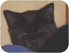 Domestic Shorthair Kitten for adoption in Victoria, British Columbia - Licorice