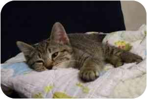 Domestic Shorthair Kitten for adoption in West Warwick, Rhode Island - Brie