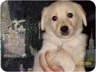 Labrador Retriever/Samoyed Mix Puppy for adoption in Dunkirk, New York - Puppies