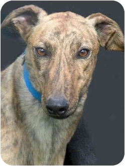 "Greyhound Dog for adoption in Louisville, Kentucky - Jack (""MJB WhistlinJack"")"
